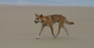 Pure breed Fraser Island Dingo